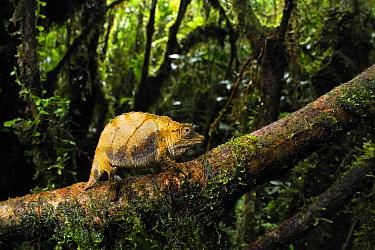 Dwarf forest chameleon (Rhampholeon boulengeri), Nyungwe Forest National Park, Rwanda