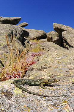 Bedriaga's rock lizard (Archaeolacerta bedriagae) is Sardinia, Italy. Endemic.
