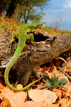 Western green lizard (Lacerta bilineata) on fallen log, Italy.
