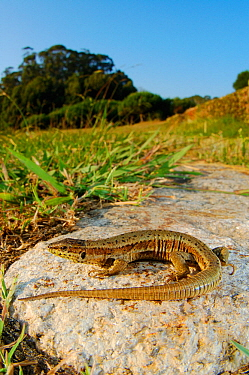 Bocage's wall lizard (Podarcis bocagei) basking on rock, Portugal