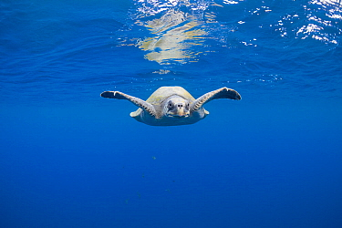 Olive Ridley sea turtle (Lepidochelys olivacea) swimming in open Pacific ocean, off southern Costa Rica.