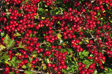 Ripe Hawthorn berries (Crataegus monogyna) in autumn, Dorset, UK. October.