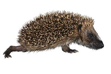 European hedgehog (Erinaceus europaeus) juvenile, on white background, Dorset, UK. August.