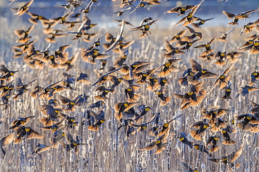 Yellow-headed blackbirds (Xanthocephalus xanthocephalus) flock decending into the marsh cattails at sunset, Whitewater Draw, Arizona State Game and Fish Reserve, USA. January.