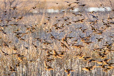 Yellow-headed blackbirds (Xanthocephalus xanthocephalus) flock decending into the marsh cattails at sunset, causing cattail seeds to drift in the air. Whitewater Draw, Arizona State Game and Fish Rese...