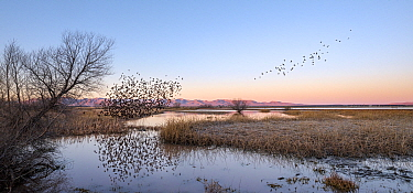 Yellow-headed blackbird (Xanthocephalus xanthocephalus) flock murmuration as they take off from the marsh at dawn, Whitewater Draw, Arizona State Game and Fish Reserve, USA. January.