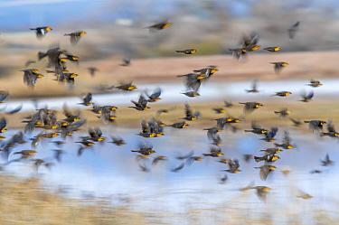 Yellow-headed blackbirds (Xanthocephalus xanthocephalus) flock in flight, Whitewater Draw, Arizona State Game and Fish Reserve, USA. January.