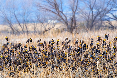 Yellow-headed blackbirds (Xanthocephalus xanthocephalus) flock at roost, Whitewater Draw, Arizona State Game and Fish Reserve, USA. January.
