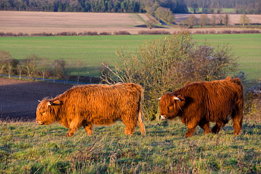 Highland cow, part of a conservation program using rare domestic breeds to graze on grassland, Danebury Hill Fort, Hampshire, UK. January.