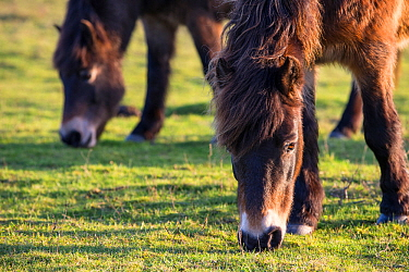 Exmoor ponies grazing, part of a conservation program using rare domestic breeds to graze on chalk grassland, Danebury Hill Fort, Hampshire, UK. January.
