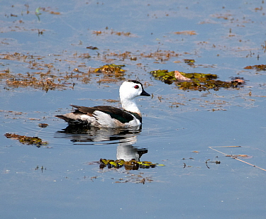 Cotton pygmy-goose (Nettapus coromandelianus) on water, Tadoba National Park, Maharashtra, India. March.
