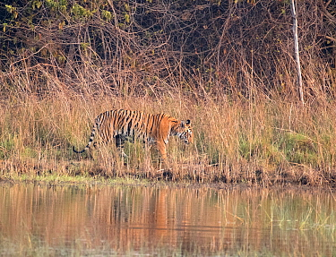 Tigress (Panthera tigris tigris) walking in long grass along a river - Tadoba National Park and Tiger Reserve, Maharashtra, India. March.