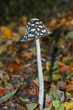 Magpie inkcap fungus (Coprinopsis picacea),  Polesden Lacey NT, Surrey, England, October.