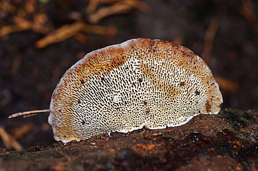 Blushing bracket fungus (Daedaleopsis confragosa), underside, The Chantries, Surrey, England, October.
