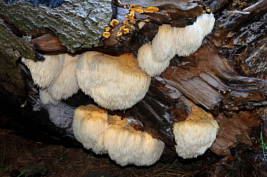 Bearded tooth fungus (Hericium erinaceus),  Naphill Common (SSSI), Buckinghamshire, England, October.