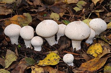 Common puffballs (Lycoperdon perlatum), NEC grounds, Birmingham, West Midlands, England, October.