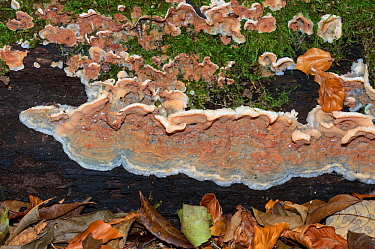 Jelly rot fungus (Phlebia tremellosa),  Sheepleas SWT, south of West Horsley, Surrey, England, October.