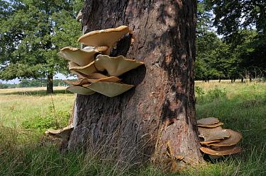 Dryad's saddle bracket fungus (Polyporus squamosus) on Horse-chestnut tree trunk, South West London, England, September.