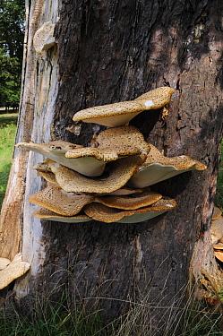 Dryad's saddle bracket fungus (Polyporus squamosus) on Horse-chestnut tree, South West London, England, September.