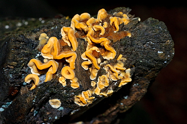 Hairy curtain crust fungus (Stereum hirsutum),  Naphill Common (SSSI), Buckinghamshire, England, September.