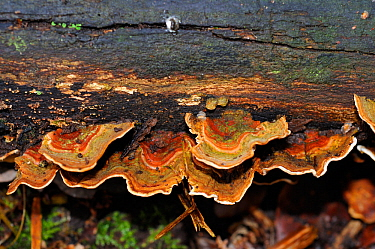 Yellowing curtain crust fungus (Stereum subtomentosum), Abinger Roughs NT, Surrey, England, October.