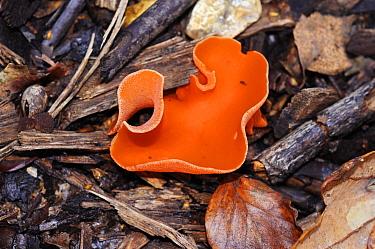 Orange peel fungus (Aleuria aurantia), Penn Wood, Buckinghamshire, England, November.