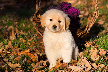 Golden retriever puppy sitting dried leaves near basket of flowers in autumn, Connecticut, USA. November.