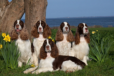 English springer spaniels, show type, sitting together,Connecticut, USA. April.