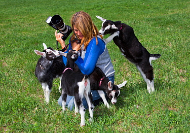 Saanen dairy goat kids playing with photographer, Connecticut, USA, May. Model released.