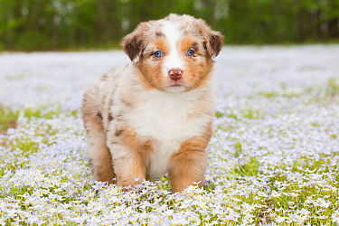 Australian shepherd dog puppy standing in field of Bluet flowers, Connecticut, USA. May.