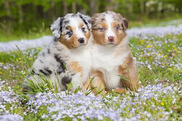 Australian shepherd dog puppies sitting in field of Bluet flowers, Connecticut, USA. May.