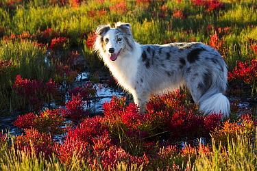 Australian shepherd dog standing in salt marsh with Red glasswort; Connecticut, USA. October.