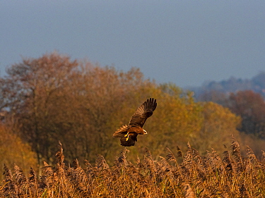 Marsh harrier (Circus aeruginosus) in flight, Ham Wall RSPB Reserve, Somerset, England, UK, December.