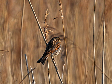 Common reed bunting (Emberiza shoeniclus) perched on the stem of Common reed (Phragmites australis), Lymington and Keyhaven Marshes Nature Reserve, Hampshire County Council Reserve, New Forest Nationa...
