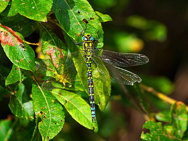 Migrant hawker dragonfly (Aeshna mixta) resting on leaves, Ham Wall RSPB Reserve, Avalon Marshes, Somerset Levels and Moors, England, UK, August.