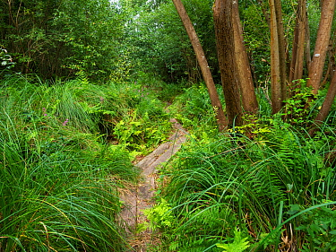 Replica of the bronze age Meare Heath trackway built across marshland in 1500 bc, Shapwick Heath National Nature Reserve, Avalon Marshes, Somerset Levels and Moors, Somerset, England, UK, August 2019