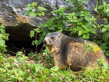 Alpine marmot (Marmota marmota) at entrance to burrow, Pyrenees National Park, France, September.