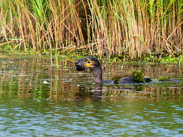 Great cormorant (Phalacrocorax carbo) with a fish, Westhay Moor Nature Reserve, Avalon Marshes, Somerset Levels and Moors, England, UK, August
