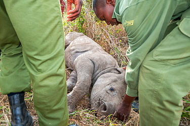 Black rhino (Diceros bicornis) calf orphaned by poaching, being rescued by Kenya Wildlife Service and Solio Ranch staff to be raised at David Sheldrick Wildlife Trust Orphanage, Nairobi. Solio Game Re...
