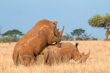 White rhinoceros (Ceratotherium simum) pair mating, Lewa Wildlife Conservancy, Laikipia, Kenya. February.