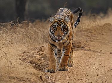 Bengal tiger (Panthera tigris) tigress 'Arrowhead' Ranthambhore, India
