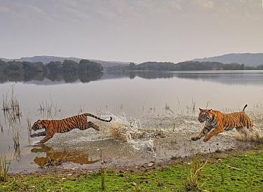 Bengal tiger (Panthera tigris) tigress 'Arrowhead' and juvenile age 10 months, running through water Ranthambhore, India