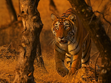 RF - Bengal Tiger (Panthera tigris) Tigress 'Arrowhead' stalking, Ranthambhore, India  (This image may be licensed either as rights managed or royalty free.)