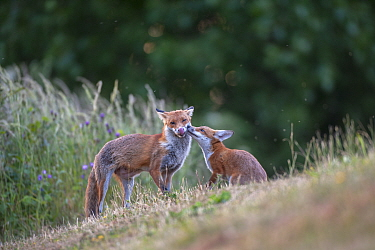 Red fox (Vulpes vulpes) cub in pasture asking vixen for food, England.