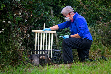 A vaccinator preparing to inoculate a European badger (Meles meles) against TB uses plastic wickets to restrict the animal's movement in a cage trap. North Somerset, UK. Badger vaccination program...