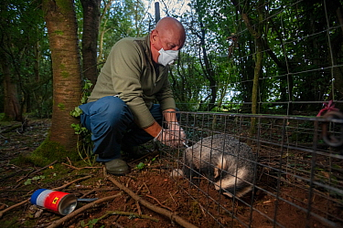 A vaccinator inoculates a sleeping European badger (Meles meles) against TB. North Somerset, UK. Badger vaccination programmes are being carried out in England as a means of controlling the spread of...