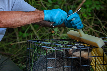A vaccinator prepares to clip the fur of a European badger (Meles meles) in a cage trap after vaccinating it against TB. North Somerset, UK. The clipped area will be sprayed with a dye to indicate tha...