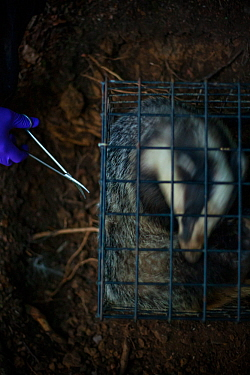 A European badger (Meles meles) in a cage trap has its fur cut by scissors after being vaccinated against TB. North Somerset, UK. The clipped area will be sprayed with a dye to indicate that the badge...
