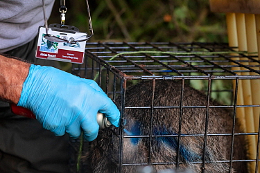 A European badger (Meles meles) is sprayed with blue dye in a cage trap after being vaccinated against TB. North Somerset, UK. The mark indicates that the badger has already been vaccinated in case it...