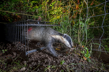 A European badger (Meles meles) leaves a cage trap after being vaccinated against TB. North Somerset, UK. The red spray on its side indicates the badger has been vaccinated in case it is trapped again...
